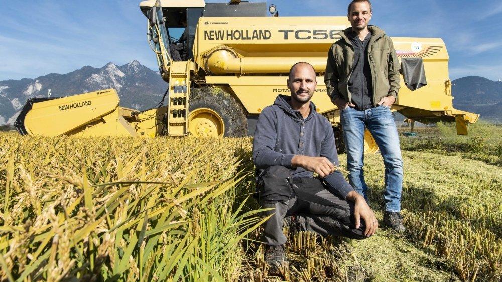 La première moisson de riz valaisan et écologique s'est déroulée à la satisfaction de l'agriculteur Stéphane Angst et  d'Emmanuel Revaz, conseiller scientifique à la société ornithologique.