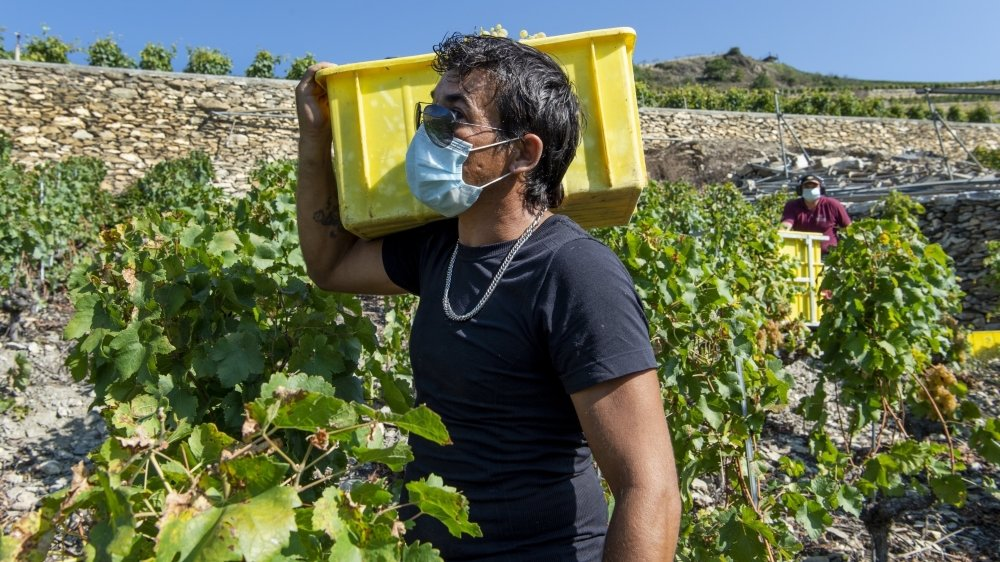 Premières vendanges au temps du coronavirus. Le port du masque augmente la pénibilité du travail, 2020 restera dans les mémoires des vendangeurs.