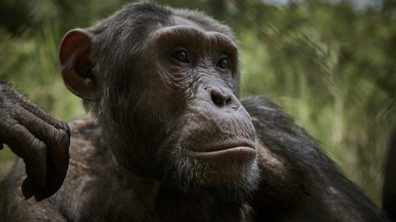 Les chimpanzés faisaient partie du test (illustration).