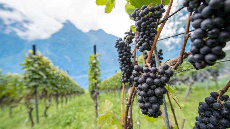 Vendanges 2020: un excellent millésime en Suisse, mais de faibles quantités