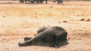 Zimbabwe: douze autres éléphants sont morts, la même bactérie soupçonnée