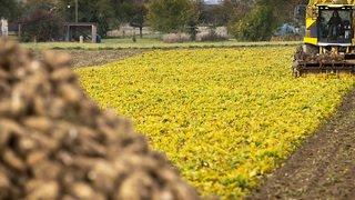 Environnement: les betteraviers demandent la réintroduction provisoire d'un pesticide