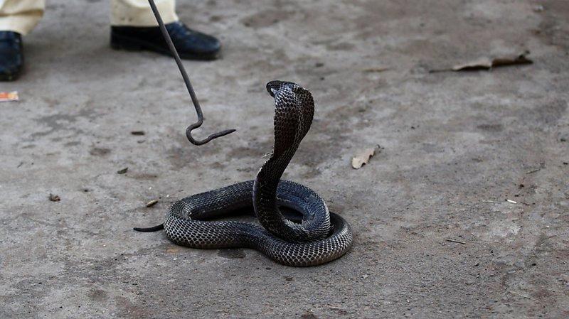 Inde: après la dengue, le paludisme et le Covid-19, il survit au venin d'un cobra