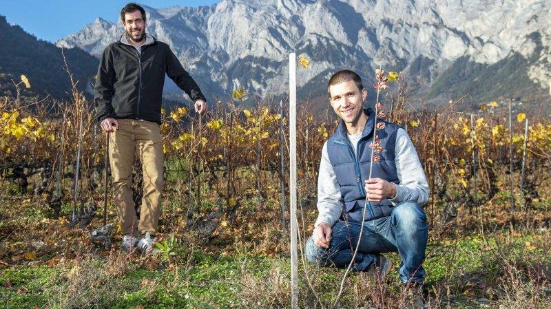 Des buissons dans les vignes valaisannes pour favoriser la biodiversité