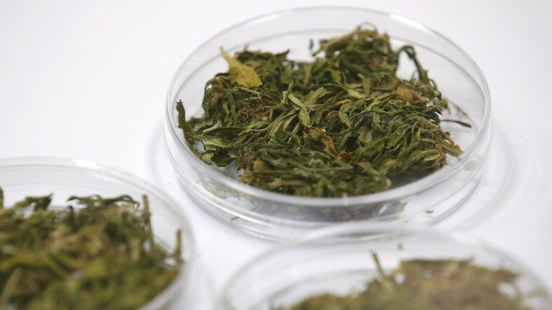 Près de 3000 autorisations d'utilisation du cannabis médical sont délivrées chaque année en Suisse (image d'illustration).