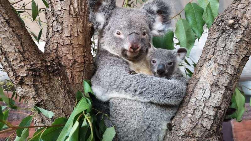 Zoo de Zurich: le premier koala né en Suisse est un mâle appelé Uki