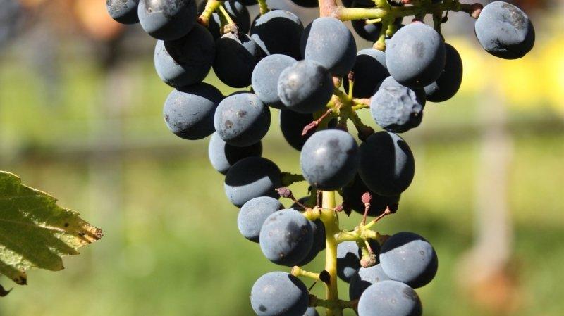 Les vignerons valaisans s'intéressent de plus en plus au divico, dont la surface a atteint plus de 6 hectares en 2019.