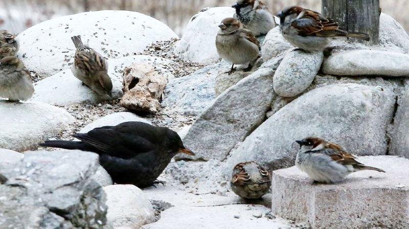 Les oiseaux ont-ils besoin de nous en hiver?