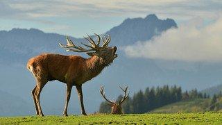 République tchèque: un cerf s'enfuit avec un fusil volé à un chasseur