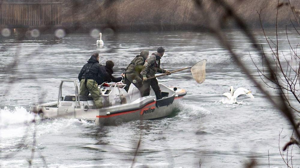 Des agents des unités spéciales de la police cantonale et Philippe Dubois, garde-faune, ont sauvé un cygne, blessé par une flèche, sur l'étang des Mangettes.