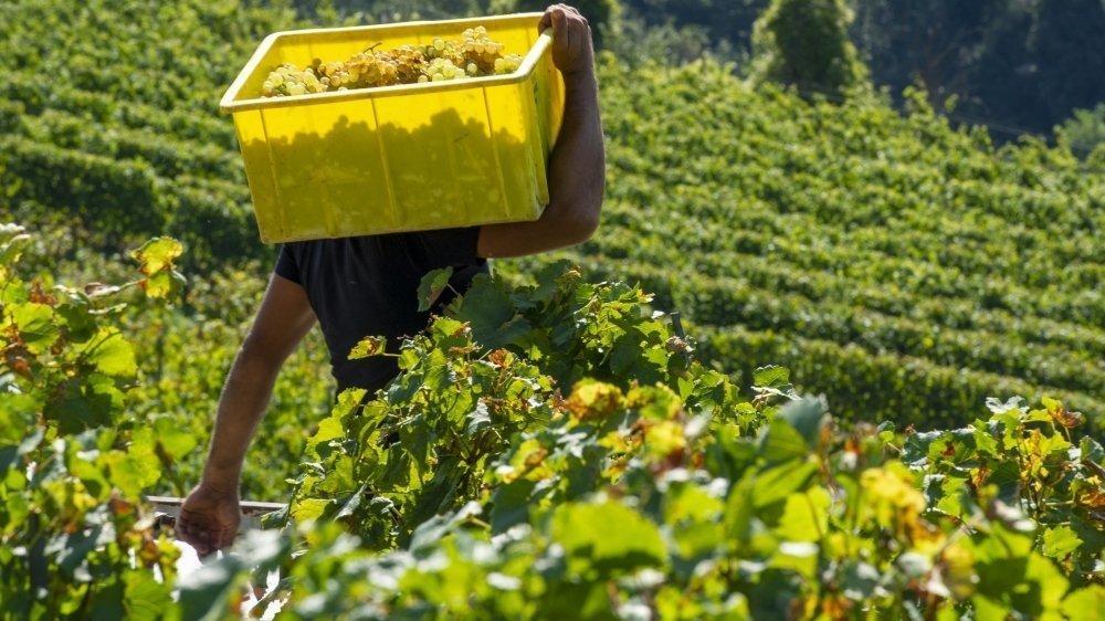 Avec la fermeture des établissements publics et l'annulation des manifestations, le Covid-19 a pesé sur les ventes de vin valaisan. Heureusement, les ventes ont grimpé en grande distribution et les nectars du canton ont bénéficié d'un fort soutien des consommateurs selon l'IVV.
