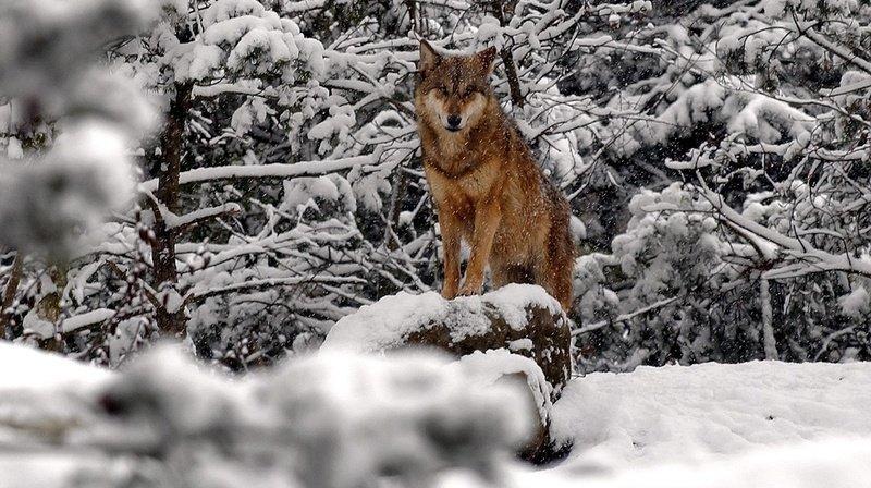 Une commission veut des mesures rapides pour réguler le loup