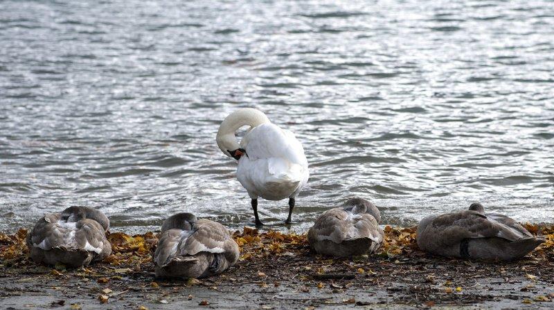 Grippe aviaire: premier cas détecté dans la région du lac de Constance proche de la Suisse