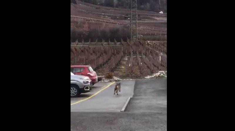 Un loup filmé dans une rue de Bramois?