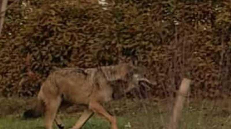 Est-ce bien un loup qui rôde à Grimisuat?