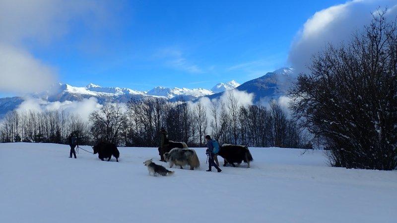 Chermignon: les promenades avec les yaks séduisent les amateurs de dépaysement