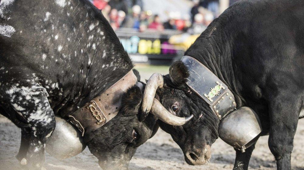 L'altercation a eu lieu en marge d'un combat de vaches d'Hérens samedi au Châble.