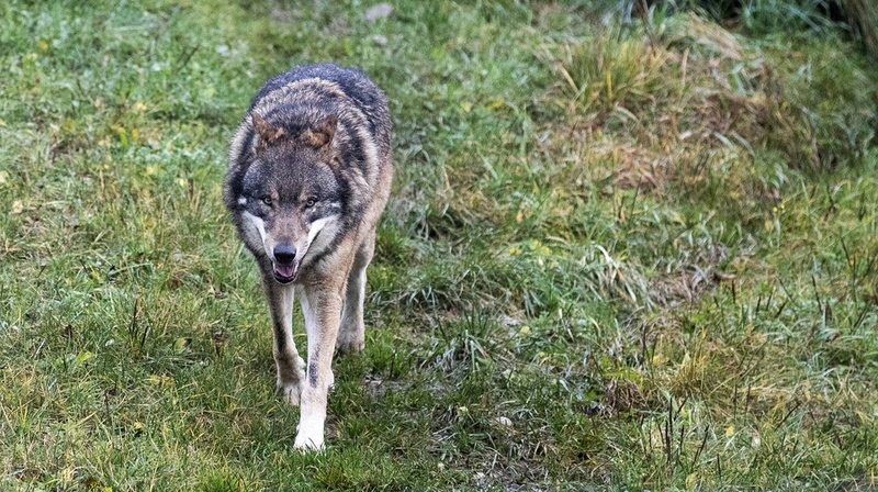 Grands prédateurs: Berne débourse près de 4 millions par an pour limiter les dégâts