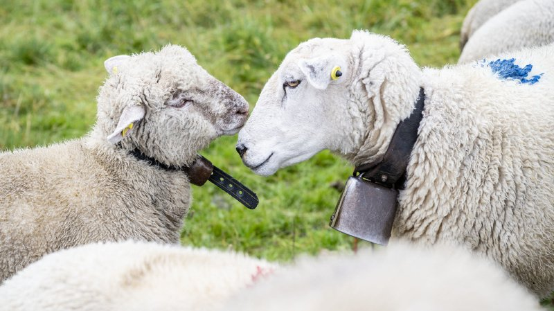 Attaques de loups: «Nous voulons soutenir au maximum les éleveurs de moutons»