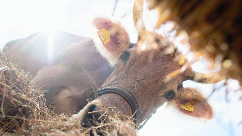Elevage: la viande suisse dépendrait trop du fourrage importé du Brésil