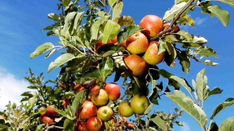 Valais: un projet pour réduire l'utilisation de produits phytosanitaires de synthèse