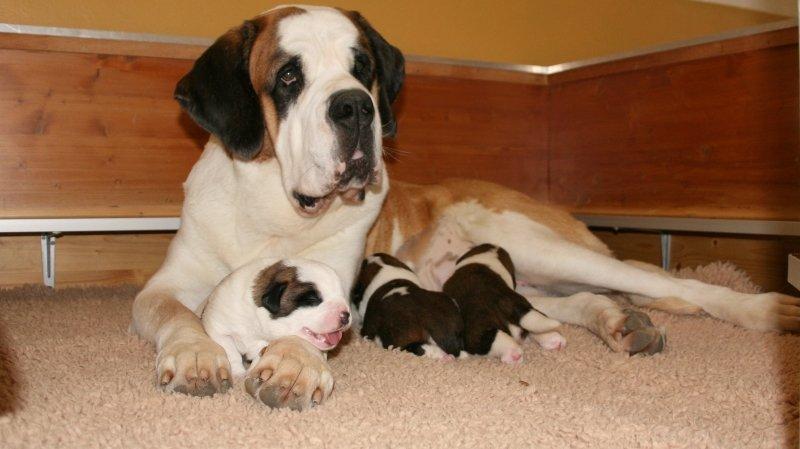 La mère, Patsch du Grand St- Bernard, et ses trois chiots se portent à merveille.