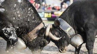 Valais: l'UDC en croisade pour sauver les cloches des animaux de rente