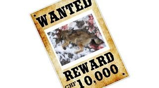 Loup: prime ou pas, les braconniers sont rarement retrouvés