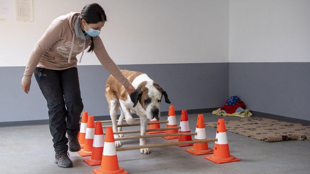 Au chenil de Martigny, la Fondation Barry dispose désormais d'une salle spécialement aménagée où la physiothérapeute Emilie Dufey, ici avec la chienne Bounty, peut prodiguer des soins quotidiens aux chiens qui en ont besoin.