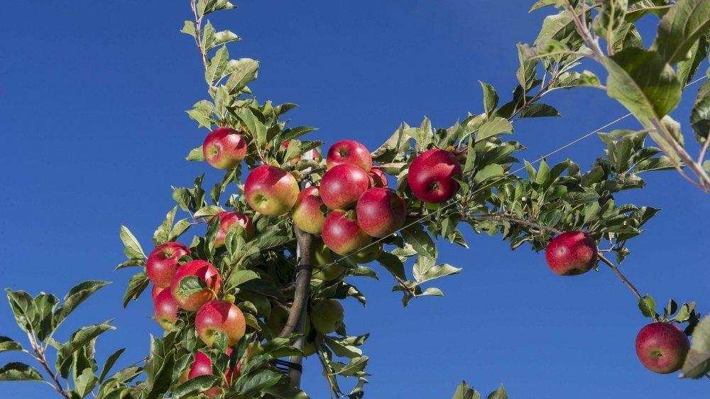Le Valais arboricole est prêt à s'engager pour réduire l'utilisation des produits phytosanitaires. Sur au moins 5% de ses vergers.