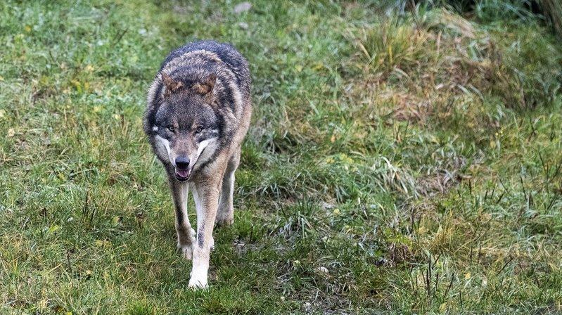 Vionnaz: deux mouflons tués par le loup durant la nuit