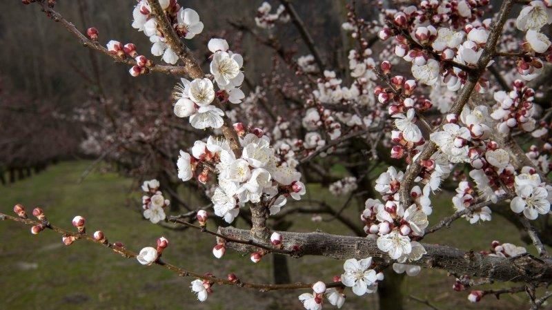 Dans les vergers valaisans, c'est déjà le printemps