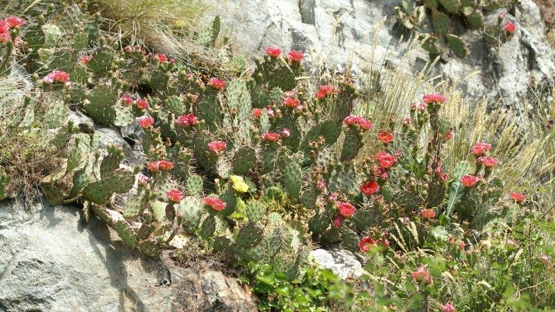 Différentes sortes de cactus poussent dans la réserve des Follatères.