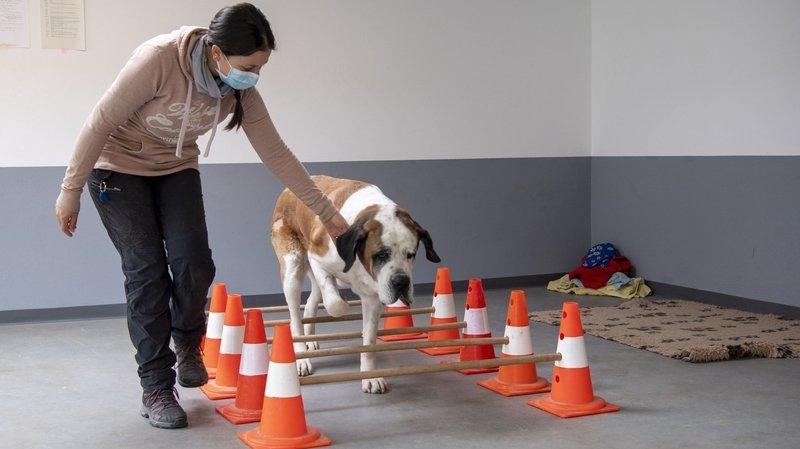 Les saint-bernards ont droit à des séances de physiothérapie