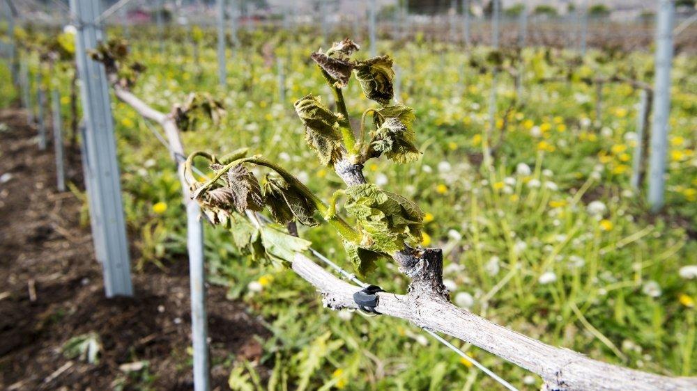 Les vignerons touchés par le gel de printemps doivent attendre le débourrement du solde des bourgeons pour pouvoir évaluer les dégâts. Ici, une photo du gel printanier de 2017.