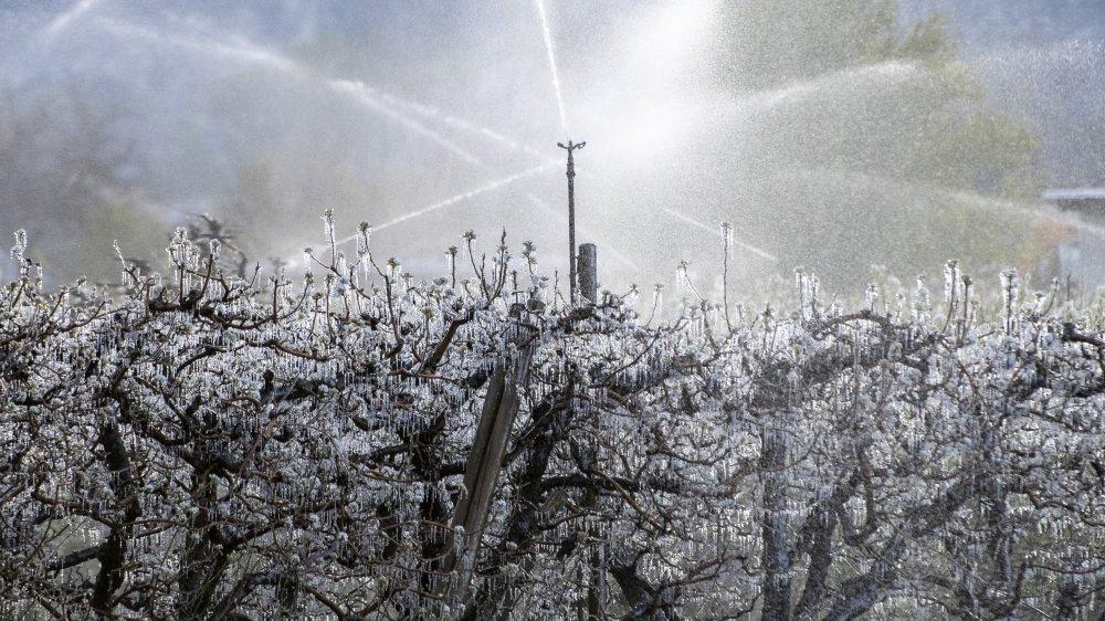 Malgré l'engagement des agriculteurs valaisans qui ont lutté durant plusieurs nuits contre le gel, les dégâts sont très importants, surtout dans les vergers d'abricotiers.