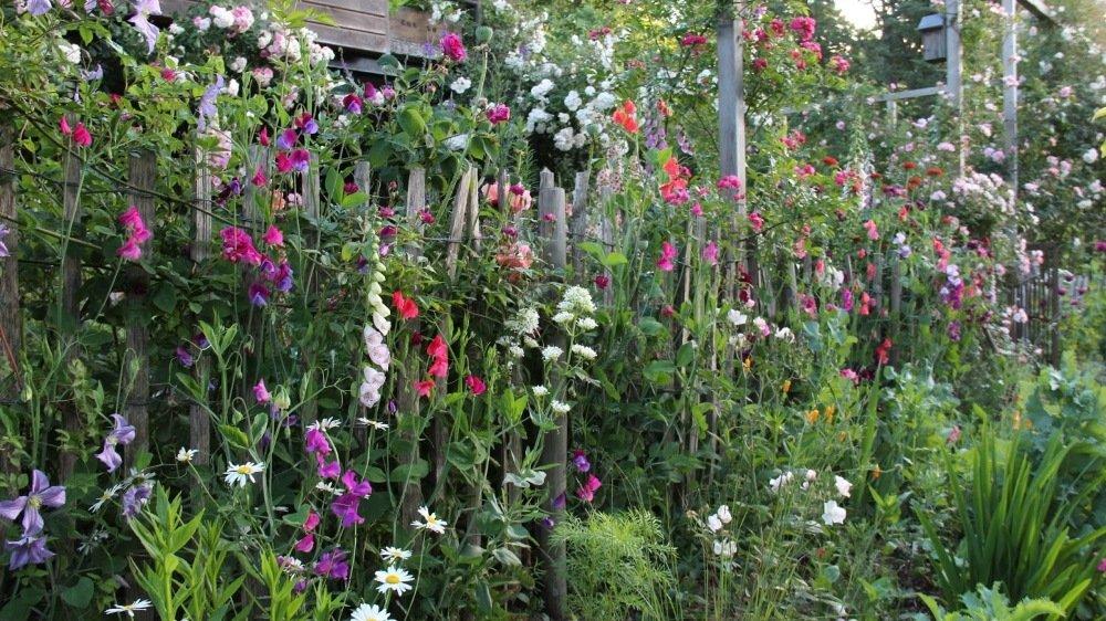 Ambiance champêtre et romantique avec des annuelles dont les pois de senteurs.