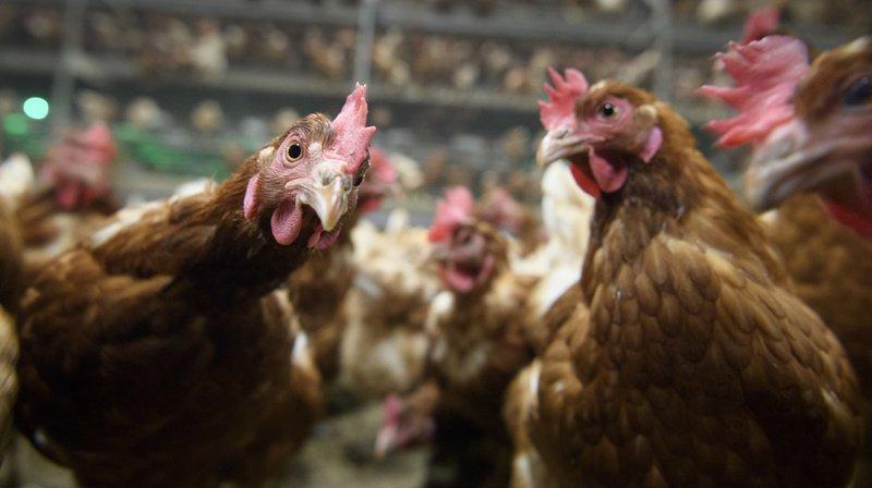 Grippe aviaire: des mesures préventives vers Genève et Nyon pour éviter une propagation