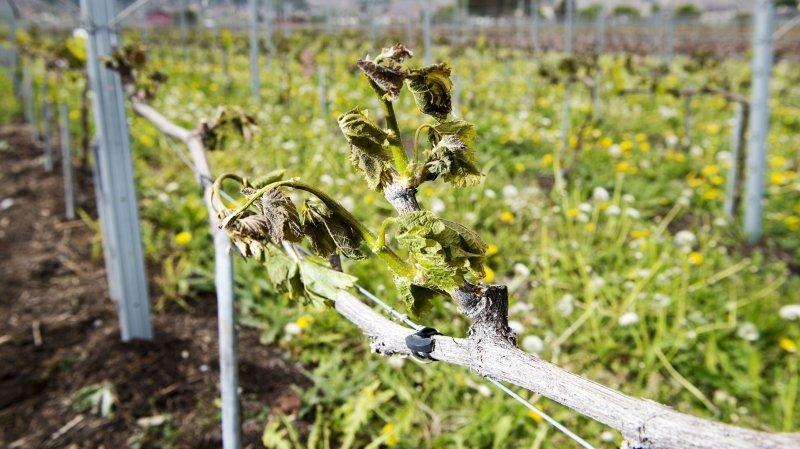 Gel printanier dans les vignes valaisannes: trop tôt pour dramatiser
