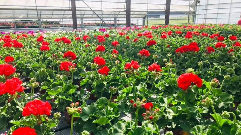 Géraniums, pétunias, dipladenias... les intéressés pourront réserver la variété qu'ils souhaitent.