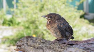 Ornithologie: mieux vaut ne pas toucher les oisillons hors de leur nid