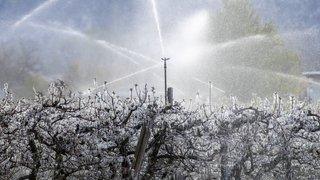 Le gel a causé des dégâts sans précédent pour la filière de l'abricot en Valais