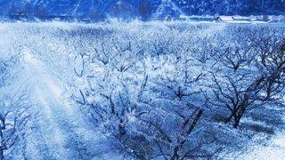 Valais: le gel a causé une perte de production de 70% pour l'abricot