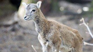 Vionnaz : un petit mouflon retrouvé agonisant sous le préau de l'école