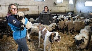 Valais: des renforts sur l'alpe pour aider les éleveurs à préserver leur bétail des attaques du loup