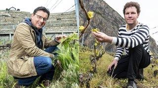 Votations: les viticulteurs valaisans pourraient-ils se passer de pesticides?