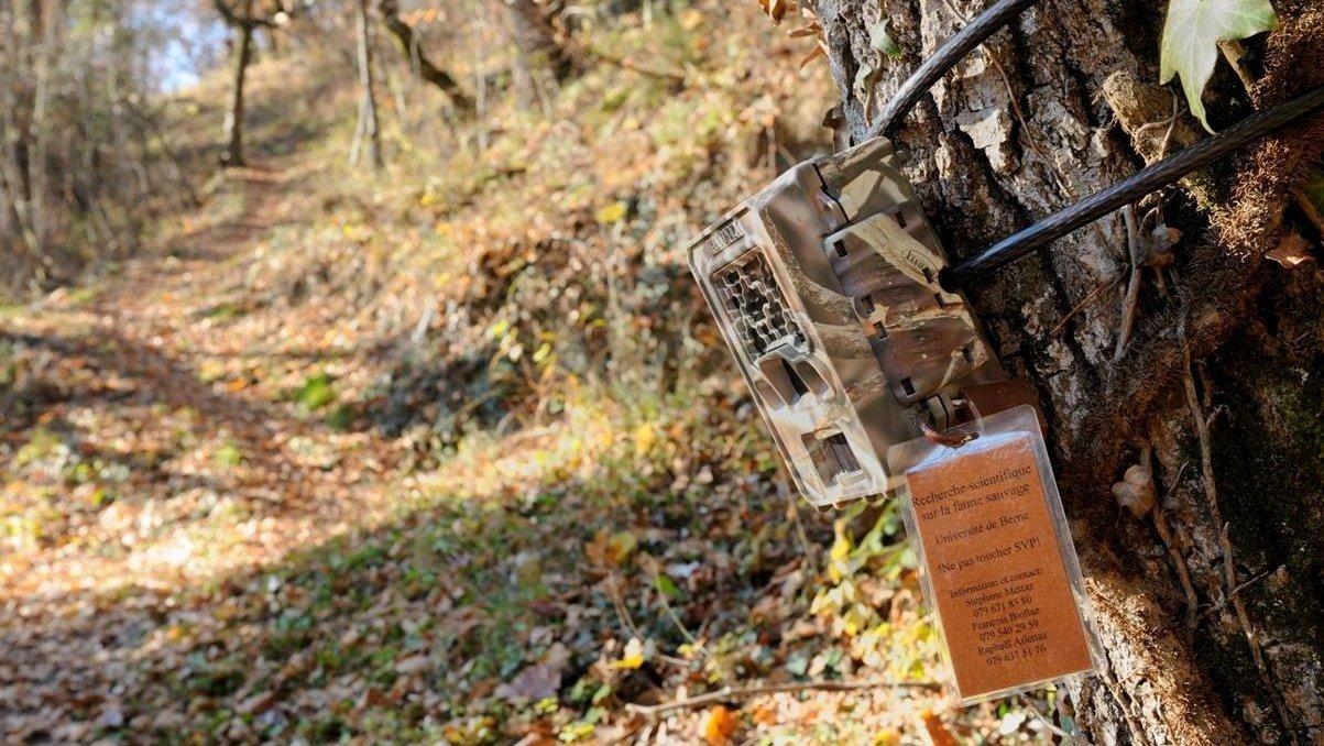Des centaines de pièges photographiques servent à répertorier les grands prédateurs en Valais.