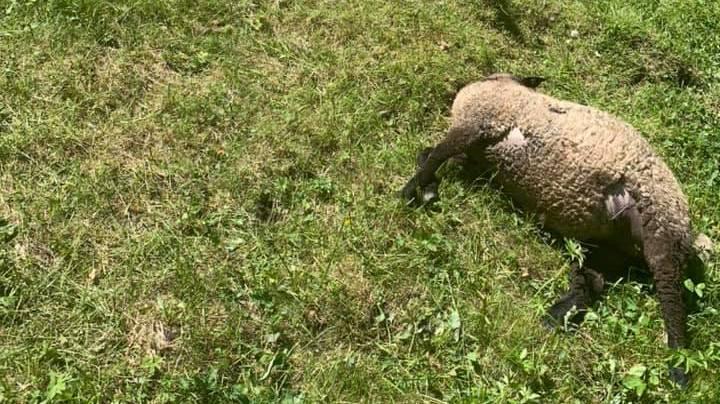 Sept moutons sont morts.