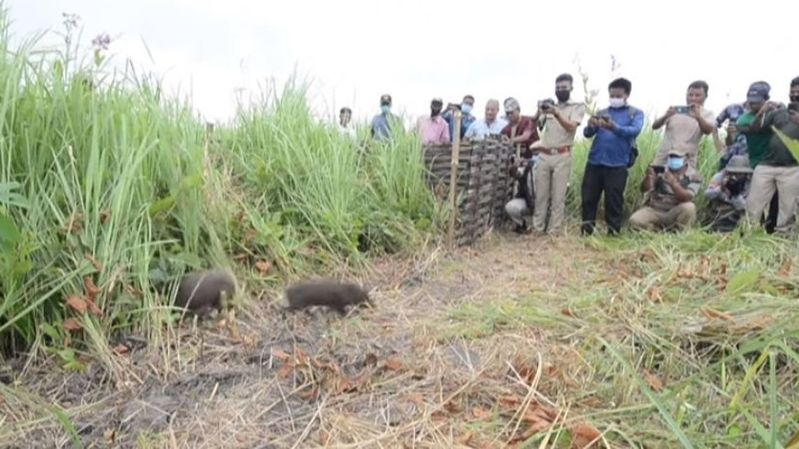 Les plus petits porcs du monde relâchés dans la nature en Inde