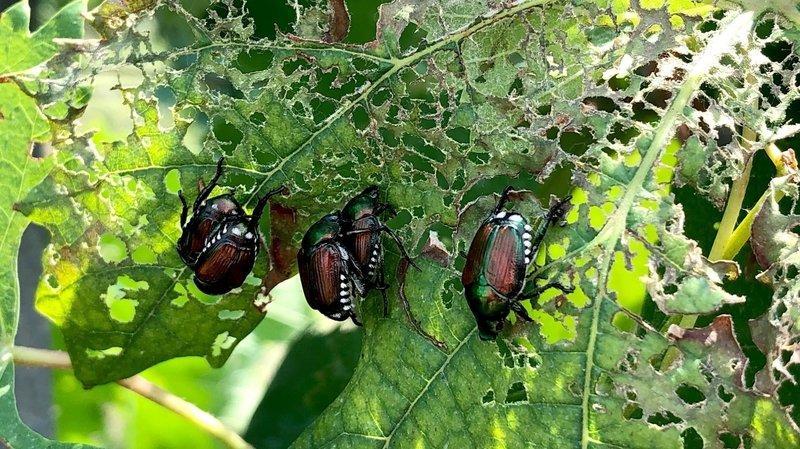 Nouvel outil pour lutter contre le scarabée japonais